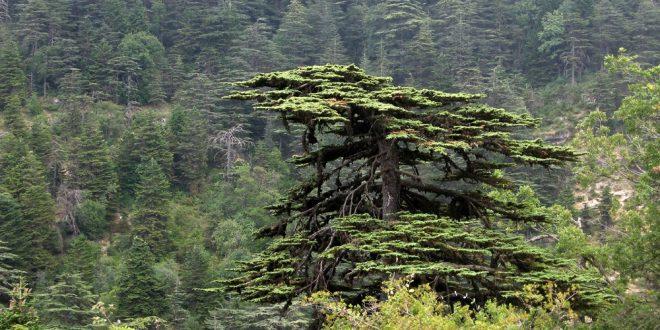 شجرة أرز باسم BECKY DYKES في محمية اهدن