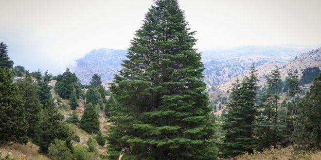 توثيق أطول شجرة أرز في عكار بارتفاع 36 مترا