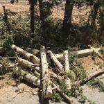 قطع عشوائي لأشجار السرو في صور والأهالي يناشدون المعنيين التدخل
